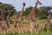 Maasai giraffe, Serengeti NP, Tanzania. Fine Art Print