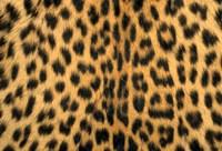 Leopard, Masai Mara Reserve, Kenya Fine Art Print