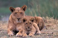 Lions, Okavango Delta, Botswana Fine Art Print