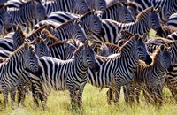 Large herd of Burchell's Zebras, Masai Mara Game Reserve, Kenya Fine Art Print