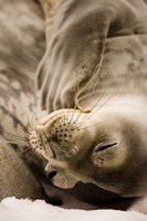 Jougla, Pt., Antarctica. Sleepy Weddell seal. Fine Art Print