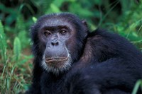 Male Chimpanzee Relaxing, Gombe National Park, Tanzania Fine Art Print