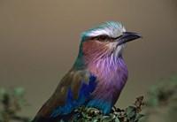 Kenya, Masai Mara, Lilac-breasted Roller bird Fine Art Print