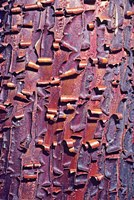 Madrone Tree Bark Abstract pattern Fine Art Print