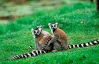 Madagascar, Antananarivo, Ring-tailed lemur, primate Fine Art Print