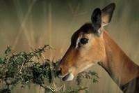 Kenya, Lake Nakuru NP, Impala wildlife Fine Art Print