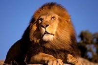 Lion, Masai Mara, Kenya Fine Art Print