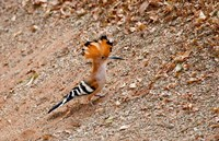 Madagascar. Madagascar Hoopoe, endemic bird Fine Art Print
