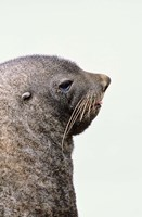 Close up of Antarctic Fur Seal, South Georgia, Sub-Antarctica Fine Art Print