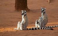Madagascar, Berenty Reserve. Ring-tailed Lemurs Fine Art Print