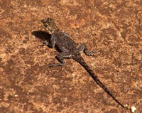 Malawi; Zomba; Brown lizard, Zomba Mountain Lodge Fine Art Print