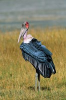 Marabou Stork, Kenya Fine Art Print