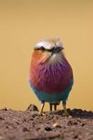 Lilac-breasted Roller bird, Maasai Mara, Kenya Fine Art Print