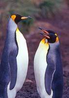 King Penguins, South Georgia Island, Antarctica Fine Art Print