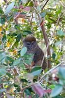 Madagascar, Perinet, Eastern Grey Bamboo Lemur Fine Art Print