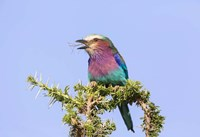 Lilac-breasted Roller with a walking stick insect, Serengeti, Tanzania Fine Art Print