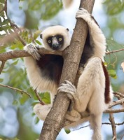 Madagascar, Sifaka lemur wildlife in tree Fine Art Print