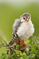 Pygmy Falcon, Samburu Game Reserve, Kenya Fine Art Print