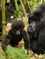 Adult and baby Gorilla, Volcanoes National Park, Rwanda Fine Art Print