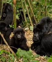 Group of Gorillas, Volcanoes National Park, Rwanda Fine Art Print