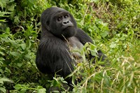 Mountain Gorilla, Volcanoes National Park, Rwanda Fine Art Print