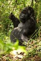 Gorilla holding a vine, Volcanoes National Park, Rwanda Fine Art Print