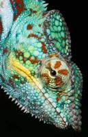 Panther Chameleon, Western Madagascar Fine Art Print