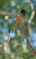 Paradise-Flycatcher bird, Ankarafantsika, Madagascar Fine Art Print