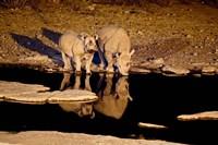 Namibia, Etosha NP, Black Rhino wildlife, waterhole Fine Art Print