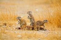 Namibia, Etosha NP. Cape Ground Squirrel Fine Art Print