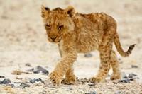 Namibia, Etosha NP. Lion, Stoney ground Fine Art Print