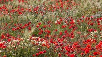 Poppy Wildflowers in Southern Morocco Fine Art Print