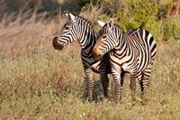 Pair of Zebras in Meru National Park, Meru, Kenya Fine Art Print