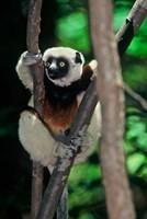 Propithecus sifaka lemur, Madagascar Fine Art Print