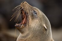 Namibia, Cape Cross Seal Reserve. Close up of Southern Fur Seal Fine Art Print
