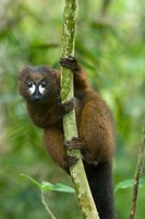 Primate, Red-bellied Lemur, Mantadia NP, Madagascar Fine Art Print