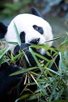 Panda bear, Panda reserve Fine Art Print