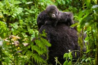 Gorilla carrying baby, Volcanoes National Park, Rwanda Fine Art Print