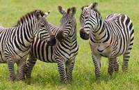 Three Plains zebras, Tanzania Fine Art Print