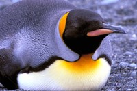 Penguin, Sub-Antarctic, South Georgia Island Fine Art Print