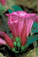 Pink Flower with buds, Gombe National Park, Tanzania Fine Art Print
