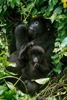Mountain Gorillas, Parc N. Volcans, Rwanda Fine Art Print