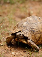 Mountain tortoise, Mkuze Game Reserve, South Africa Fine Art Print