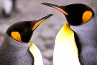 Two Penguins, Sub-Antarctic, South Georgia Island Fine Art Print