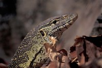Nile Monitor Lizard, Gombe National Park, Tanzania Fine Art Print