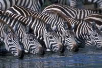 Plains Zebra Herd Drinking, Telek River, Masai Mara Game Reserve, Kenya Fine Art Print