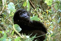 Mountain Gorilla, Bwindi Impenetrable Forest National Park, Uganda Fine Art Print