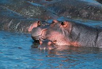 Mother and Young Hippopotamus, Serengeti, Tanzania Fine Art Print