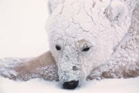 Polar Bear on Hudson Bay, Churchill, Manitoba Fine Art Print
