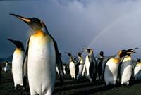 Rainbow Above Colony of King Penguins, Saint Andrews Bay, South Georgia Island, Sub-Antarctica Fine Art Print